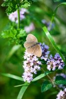 Origanum with butterfly