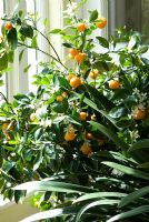 Citrus mitis, now renamed as Citrus x Citrofortunella microcarpa with fruit and flowers in a conservatory