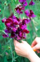 Sweet pea wigwam sequence - Picking flowers