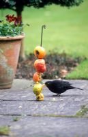 Blackbird feeding on unwanted apples threaded on a metal rod