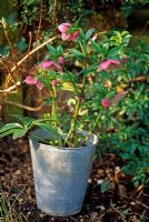 Hellebore in galvanised container