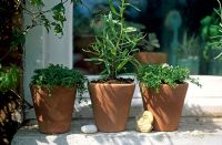 Pots of herbs on Windowsill with tarragon and corsican mint