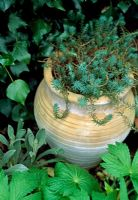 Sedum acre in pot