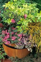 Winter tub of Choisya 'Sundance', Chamaecyparis piifera filifera 'Aurea', Penettya, now called Gaultheria mucronata, a pink fruited female form, and Erica x darleyensis