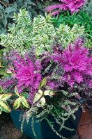 Contrasting foliage and flowers for autumn and winter in a glazed pot - Ornamental kale 'Red Peacock' with Hebe 'Silver Queen', Calluna vulgaris 'Marleen' and Leucothoe fontanesiana 'Rainbow'