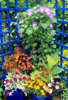 Exotic plants in blue plastic containers against a painted blue trellis - Ipomaea 'Heavenly Blue' with Canna 'Striata' and Canna 'Durban', New Guinea Busy Lizzies, Coleus, Solenostemon, French marigolds and Petunia 'Limelight'