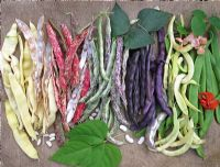 Summer bean harvest from left to right,' Italian Gold', bush 'Borlotto' firetongue bean, climbing 'Borlotto' firetongue bean, 'Violet Podded', 'Anellino Giallo' the shrimp bean with the green pods of runner bean 'Sunset' and 'Lady Di' with red flowers
