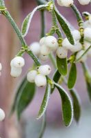 Viscum album - Frosty Mistletoe