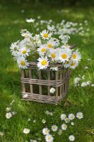 Wicker basket with daisies on lawn