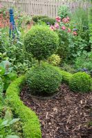 Buxus sempervirens - Box snake curving around a clipped topiary double ball