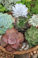 Collection of rosette forming Echeveria succulents growing in small terracotta pots displayed in a wicker basket and plunged in gravel. Echeveria elegans, Echeveria runyonii 'Topsy Turvy', Echeveria 'Black Prince', Echeveria lilacina, Echeveria hybrid and Echeveria agavoides