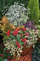 Large terracotta pot planted for autumn and winter colour. Skimmia japonica reevesiana, Leucothoe 'Rainbow', Pittosporum tenuifolium 'Silver Queen', Erica carnea, Vinca 'Illumination' and Thuja occidentalis'Sunkist'