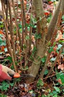 Corylus avellana - pruning out oldest stem at base of shrub with pruning saw