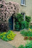 Small front garden with Clematis montana, Euphorbias, Berberis and Pyracantha