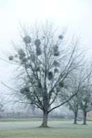 Silhouette of Viscum album - Mistletoe in Populus - Poplar tree in winter