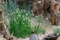 Dichromena Colorado with mived grasses in a seaside garden with driftwood, HCFS