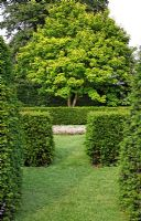 Lime green foliage of mature Acer - Maple seen through Taxus baccata - Yew hedges circling grass paths