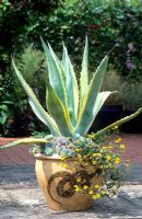 Drought resistant container with Agave americana 'Variegata', Echeverias and Sanvitalia