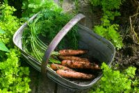 Carrots in trug placed in bed of Golden Marjoram