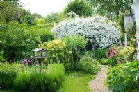 Garden in front of cottage with gravel path, Alliums, bird table, Choisya ternata 'Sundance' and Clematis montana.  Wild Rose Cottage, Lode
