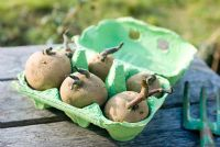 Chitting potatoes in a recycled egg box