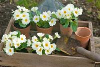 Potting up Primula - Primroses in clay pots