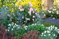 Mixed border with Rosa 'Felicia', Eryngium 'Big Blue', Lavandula angustifolia 'Lavenite Petite', Dianthus 'Mrs Sinkins', Heuchera 'Chocolate Ruffles', Cornus alba 'Aurea' and Philadelphus 'Pentagon' - The Fragrant Garden at The Bressingham Gardens, Norfolk