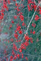Berberis vulgaris - Barberry fruits in early winter
