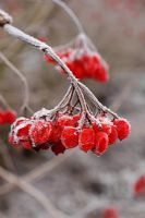 Viburnum opulus fruits with hoar frost in winter
