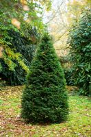 Taxus baccata - Young yew topiary cone in autumn