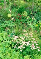 Helleborus foetidus 'Westerflisk', Astrantia, Angelica archangelica and Polystichum in border. The Cancer Research UK Garden, designer Andy Sturgeon. Gold award at the 2006 RHS Chelsea Flower Show