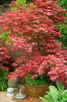Acer palmatum 'Shideshojo' growing in an oriental bowl and showing the red tints on the newly opened leaves in Spring