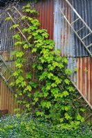 Humulus lupulus 'Aureus' and Clematis montana 'Rubens' growing up pensioned off wooden ladders against a barn - Moors Meadow, Herefordshire