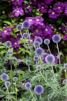 Echinops ritro 'Veitch's Blue' and Clematis viticella 'Etoile Violette'