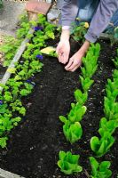 Sowing seeds of Mizuna in a four foot wide raised bed in a drill drawn out between rows of Parsley and Lettuce