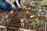 Planting Strawberry plants into raised bed