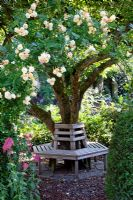 Bench beneath tree and Rosa 'Ghislaine de Feligonde'