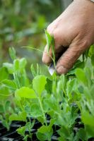 Lathyrus odoratus - Pinching out the growing tips of sweet pea seedlings with a knife to promote bushy growth