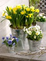 Narcissus 'Tete a Tete', Viola wittrockiana and Bellis in galvanised metal buckets