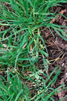 Poa annua - Annual Meadow Grass