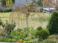 Spring border of Salix caprea 'Pendula' underplanted with Crocus, Galanthus, Tulipa, Hyacinthus, Buxus and grasses