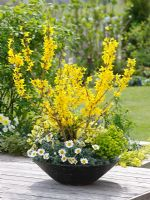 Spring container of Forsythia 'Minigold', Leucanthemum 'Flirt', Erysimum 'Winter Sun' and Euphorbia 'Antigone'