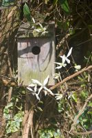 Bird box with Clematis armandii