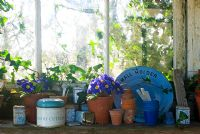 Potting shed windowsill with blue pots and Primula Polyanthus