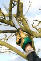 Pruning an apple tree with a pruning saw, Malus 'Bramley' in November