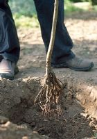 Planting a bare root tree. Make the planting hole larger than the root area of the tree to allow room for the roots to spread out. Keep topsoil in a separate pile to the subsoil. Fork up the base of the hole to improve drainage.