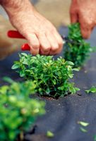 Planting a Box hedge. After planting out the young plants, cut them back to about 15cm (6in) above ground level. This encourages bushy growth, so that you end up with a dense hedge.