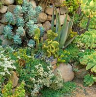 Dry stone wall with succulents. Northern California, USA