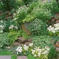Rock garden with white themed planting of Erigeron, Primula and Soleirolia soleirolii - Baby Tears, Mind your Own Business