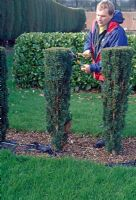 Hedge trimming. Horizontal clipping